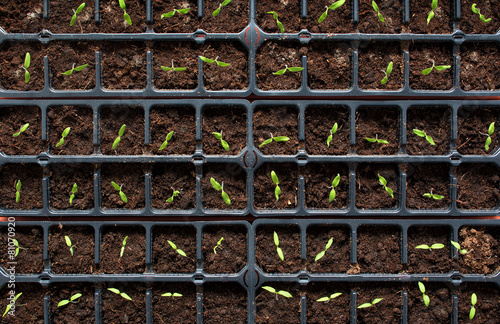 Fotobehang Tuin tomatoe seedlings