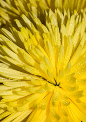 Closeup of yellow crazy daisy mum. Horizontal studio shot on whi