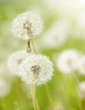 Fototapeta dandelions meadow