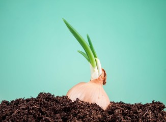 onions in soil on a green background