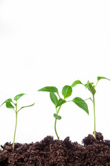 small plant peppers on an isolated white background