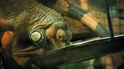 Pet Iguana Lizard Eating From Tray
