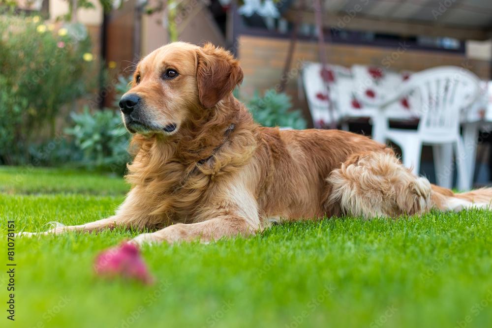 Pies na trawniku - powiększenie