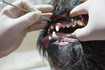 Veterinary treatment of dog gingivitis