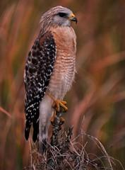 Balanced Hawk