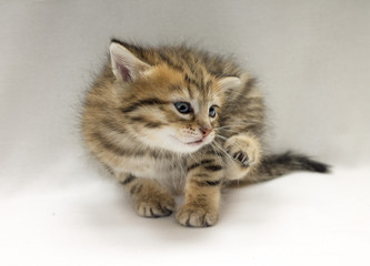 Studio photo of funny little kitten scratched
