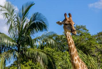 Girafa e palmeira