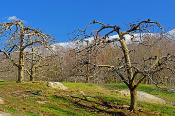 Bare apple trees beneath snow capped mountains.