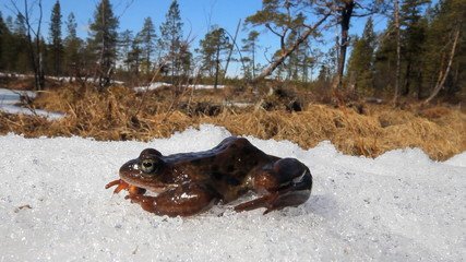 Spring. The revival of frogs.