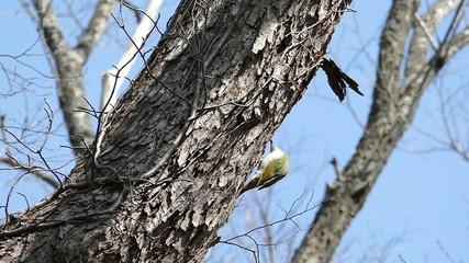 野鳥ヤマゲラのハイスピード映像_1