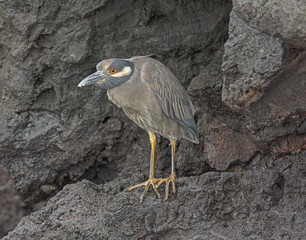 Yellow-Crowned Night Heron on a Volcanic Island