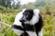 Black and White Ruffed Lemur in Andasibe Park Madagascar
