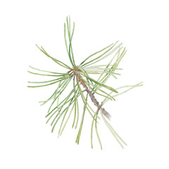 Watercolor illustration with pine branch isolated on white back