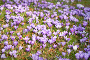 Carpet of purple Crocus flowers in park