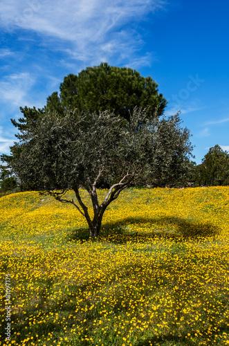 Tuinposter Olijfboom Olivier dans champ fleurs