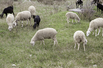 Flock of sheep in nature