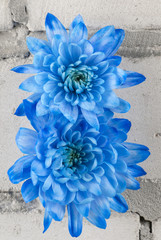 Blue chrysanthemums over grey brick wall