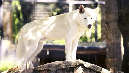 Dingo at the zoo in the afternoon. Queensland.