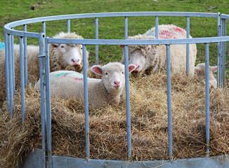 Lambs sitting inside a Hay feeder