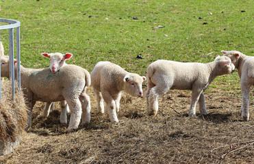 Playful grazing Lambs