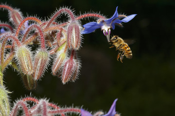 Borage flowers with bee