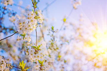 floral background sunshine blossom of cherry tree insagram sttil