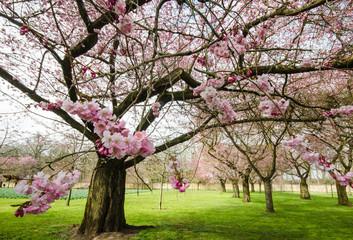 Blütenwunder: Park mit Japanischen Kirschblüten :)