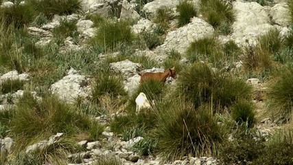 wild goats climbing in the mountains
