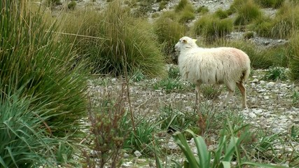 wild sheep grazing, Majorca Mallorca