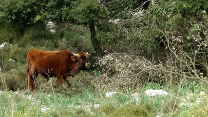 wild cattle chewing away, Majorca Mallorca