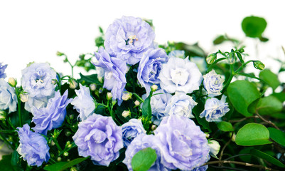 Campanula terry with blue flowers isolated on white background