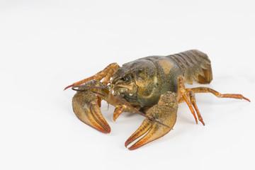 River crayfish alive - Stock Image macro.