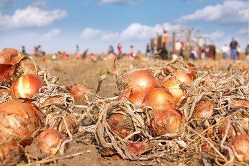 Workers picking onion on field