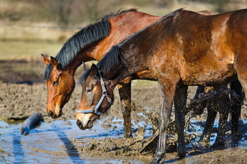 Horses in a puddle