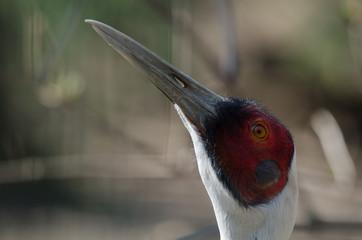 Weißnackenkranich (Grus vipio)