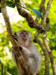 Teasing grimacing making faces monkey with its tongue stuck out