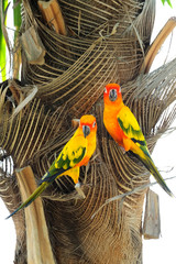 Lovely colorful Sun Conure parrot in the nature