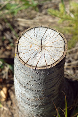 Stump of sawn aspen with annual rings. Vertical close-up photo
