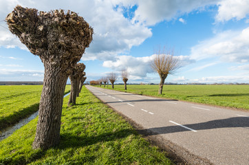 Pruned and not pruned willows along  a country road