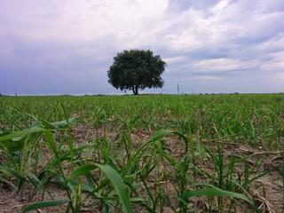 Lonely tree in green summer field landscape