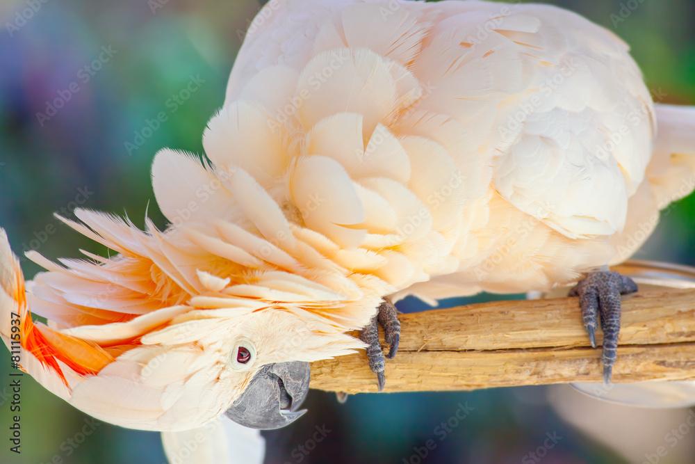 biały ptak ara - powiększenie