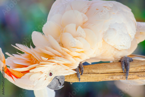 Foto op Plexiglas Indonesië creamy white cockatoo