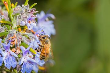 bee apis melifera eating rosemary's violet flower
