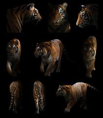 bengal tiger  in the dark
