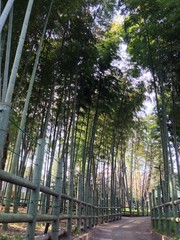 Bamboo Thicket in Japan