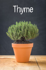 Thyme in a clay pot on a dark background