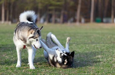 Two Siberian Husky frolic on the lawn.