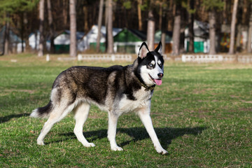 Siberian Husky is walking at sunny day.