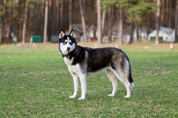 Siberian Husky examines the surrounding area