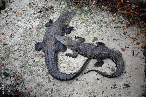 Foto op Plexiglas Krokodil Jacaré1H